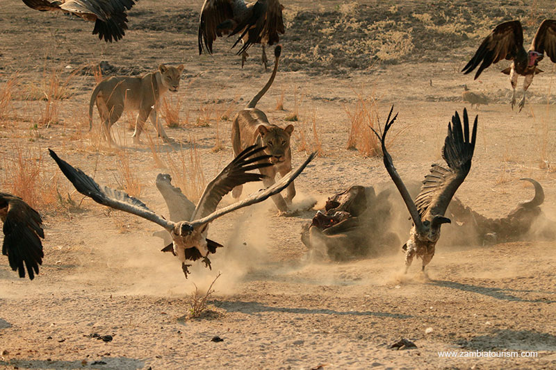 Vultures and lions in the South Luangwa National Park