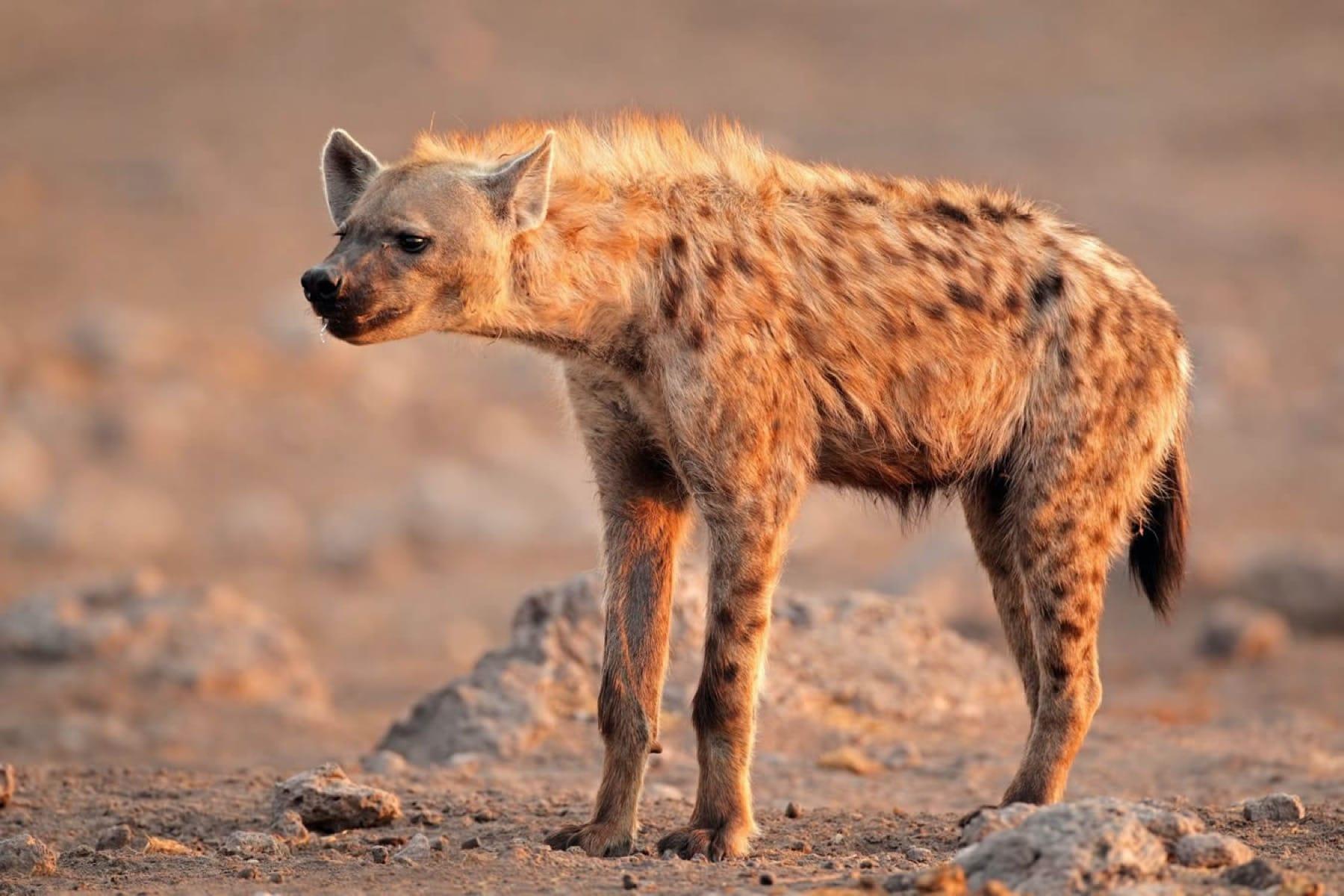 hyena etosha
