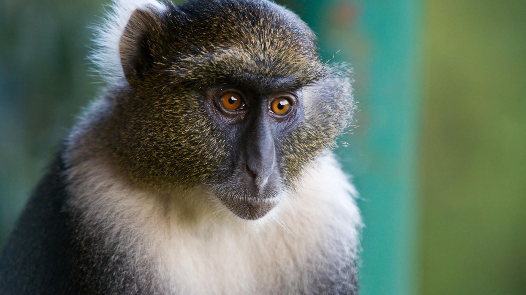 Sykes monkey_aberdares