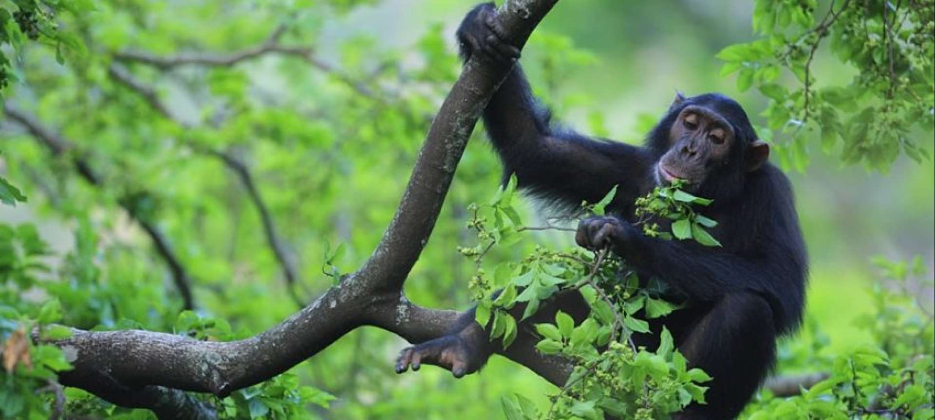 Chimpanzee trekking makes getting active fun