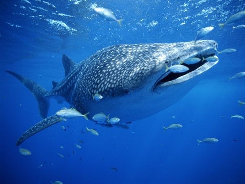 Whale sharks are prolific around Mafia Island