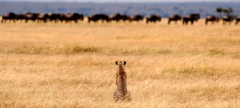 A lone cheetah waits patiently in the dry grasslands