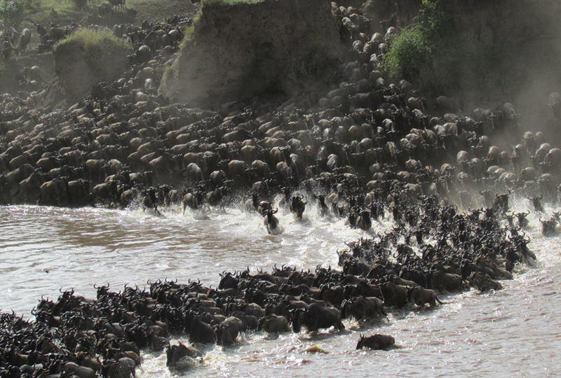 The Mara River crossing is a spectacular sight