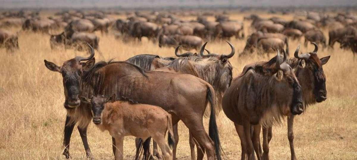January is calving season in Tanzania