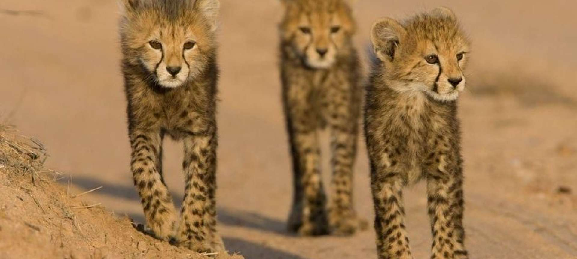 Cheetah cubs scout the area in a mock hunt