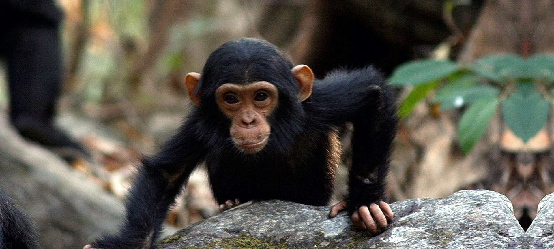 The habituated chimpanzees in the Mahale Mountains are a special sight to behold