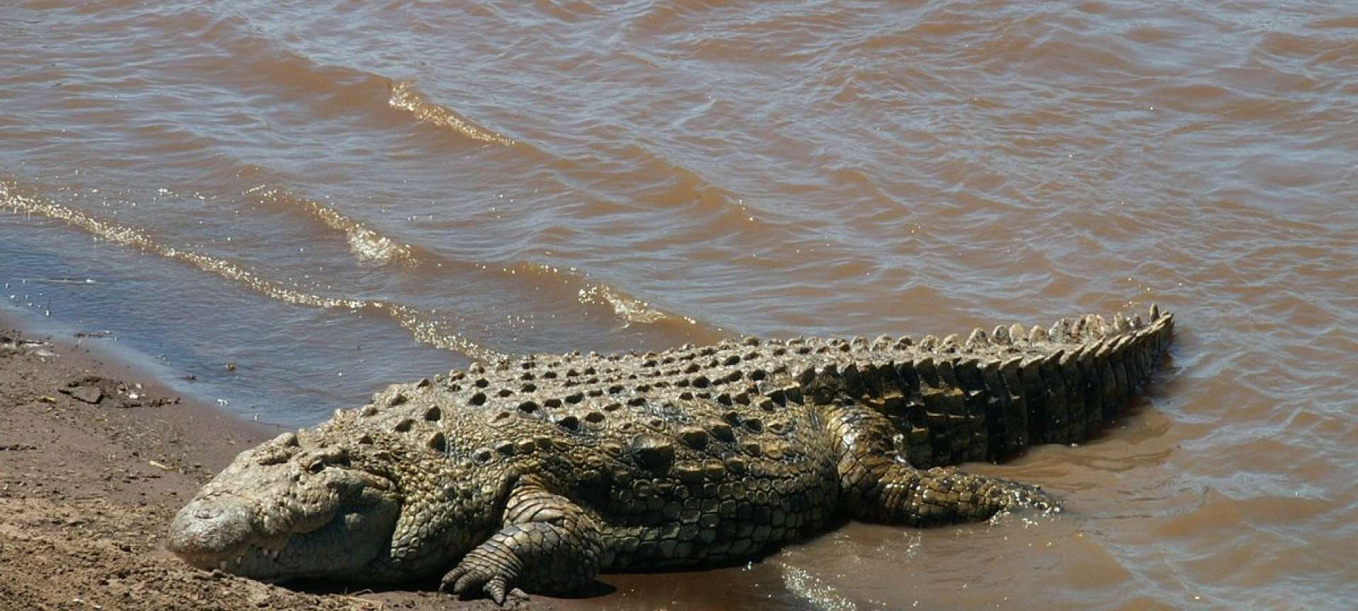 Crocodiles have a feast during a river crossing