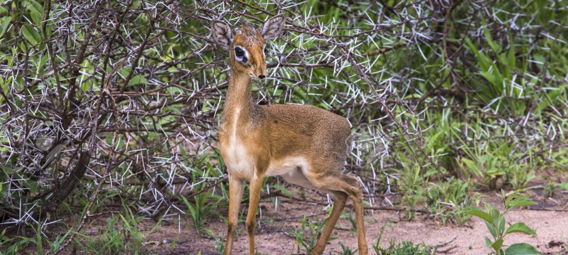 The dik-dik is a small antelope found in Tanzania