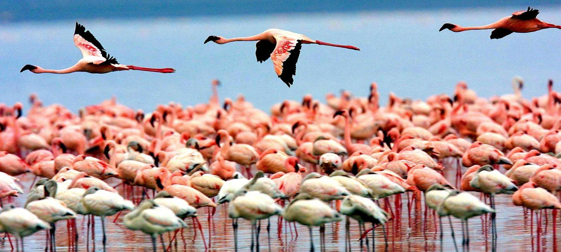 A flamboyance of flamingo in Lake Manyara