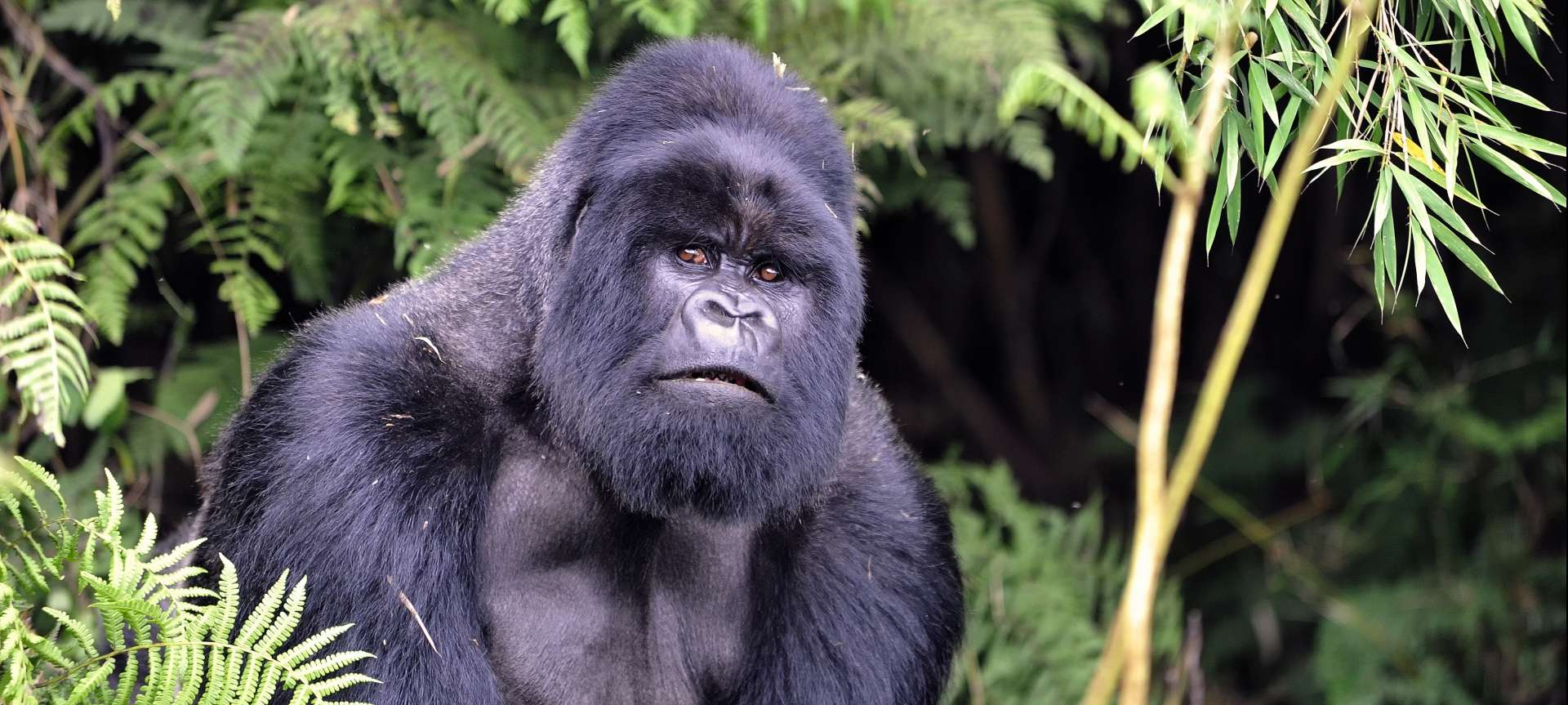The mountain gorilla of Rwanda are incredible creatures