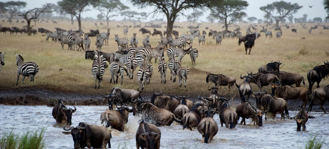 Wildebeest and zebra can be seen in large numbers in Tanzania this time of the year