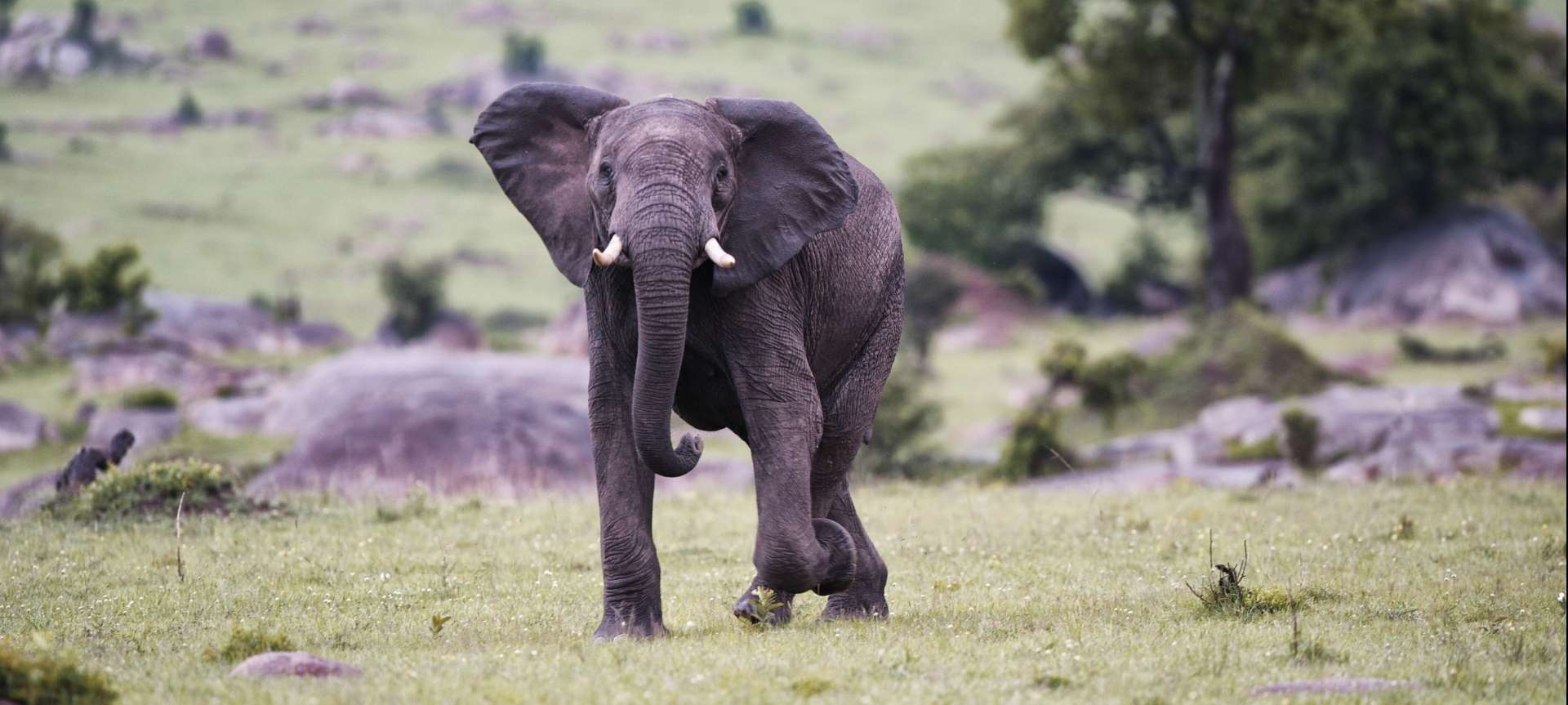 An elephant in its natural habitat