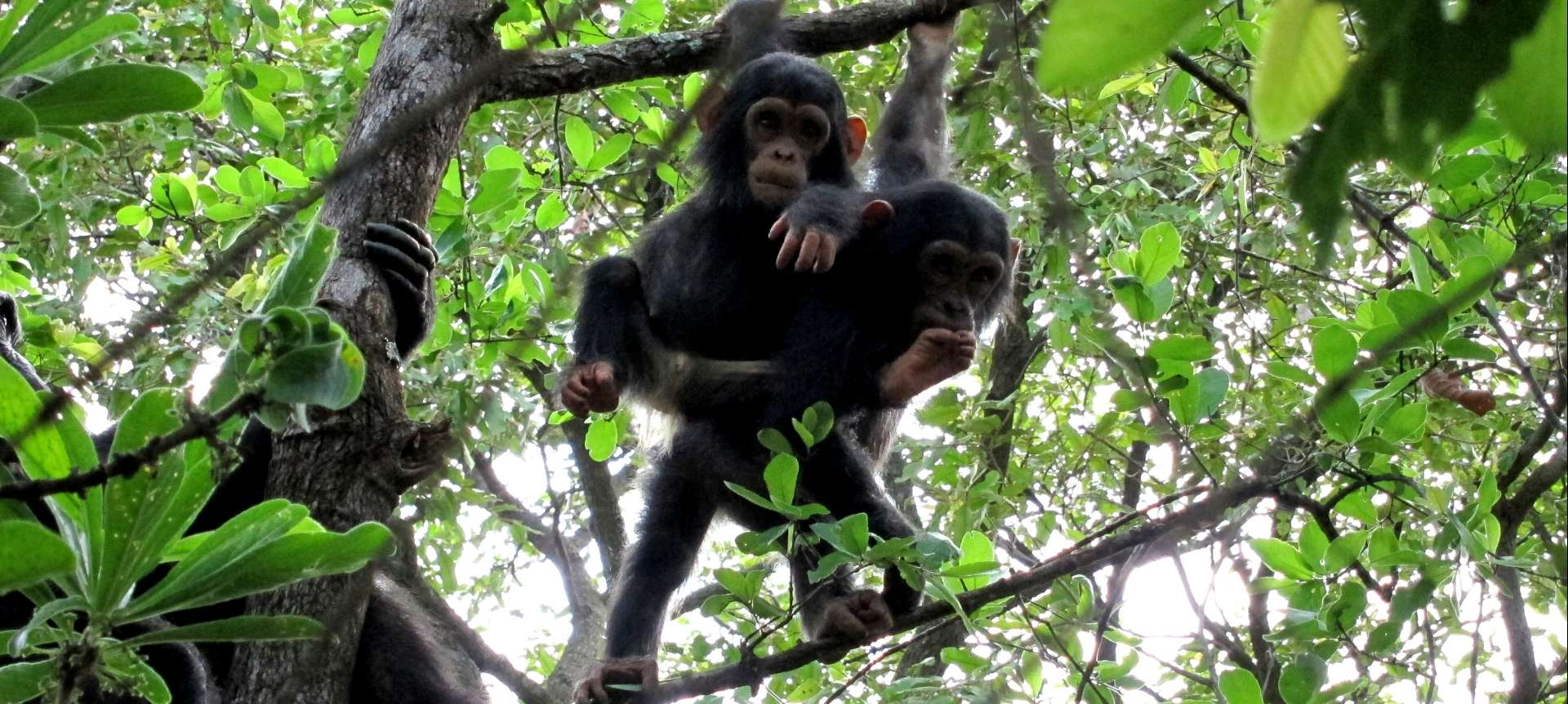 Gorgeous chimps hang around in Mahale Mountains NP