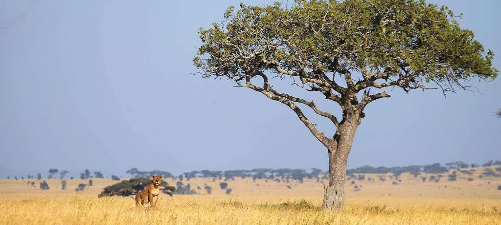 A lone lionness waits patiently beneath an Acacia tree in Tanzania