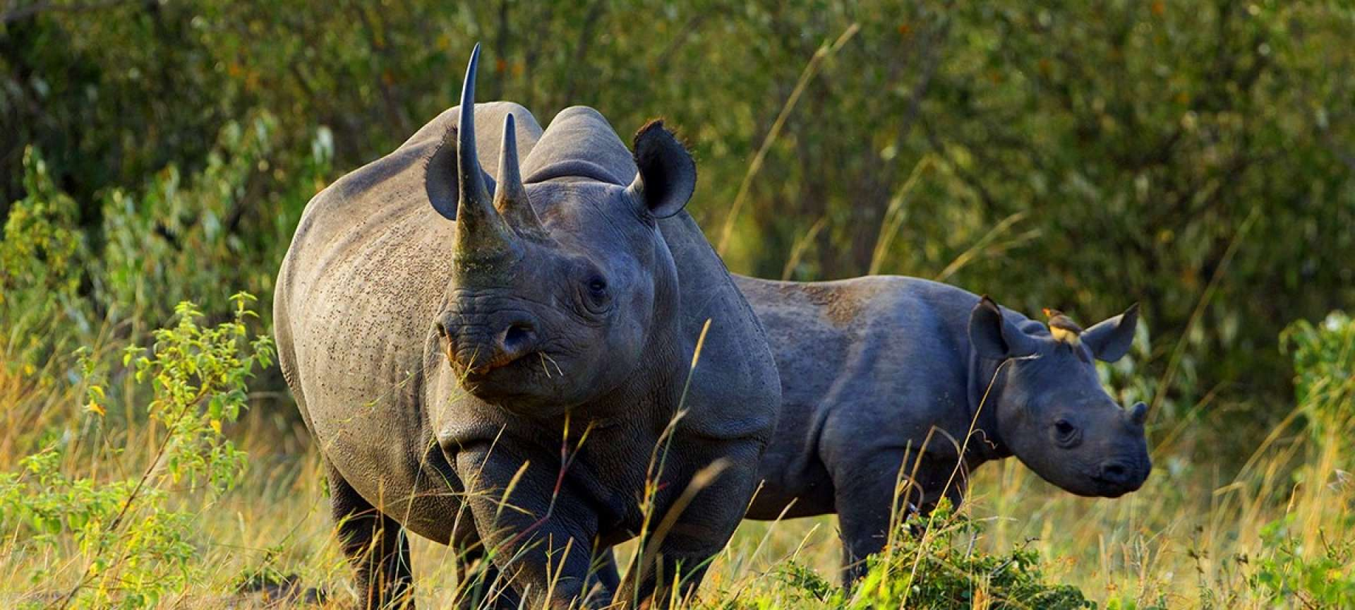 The Black rhino is critically endangered