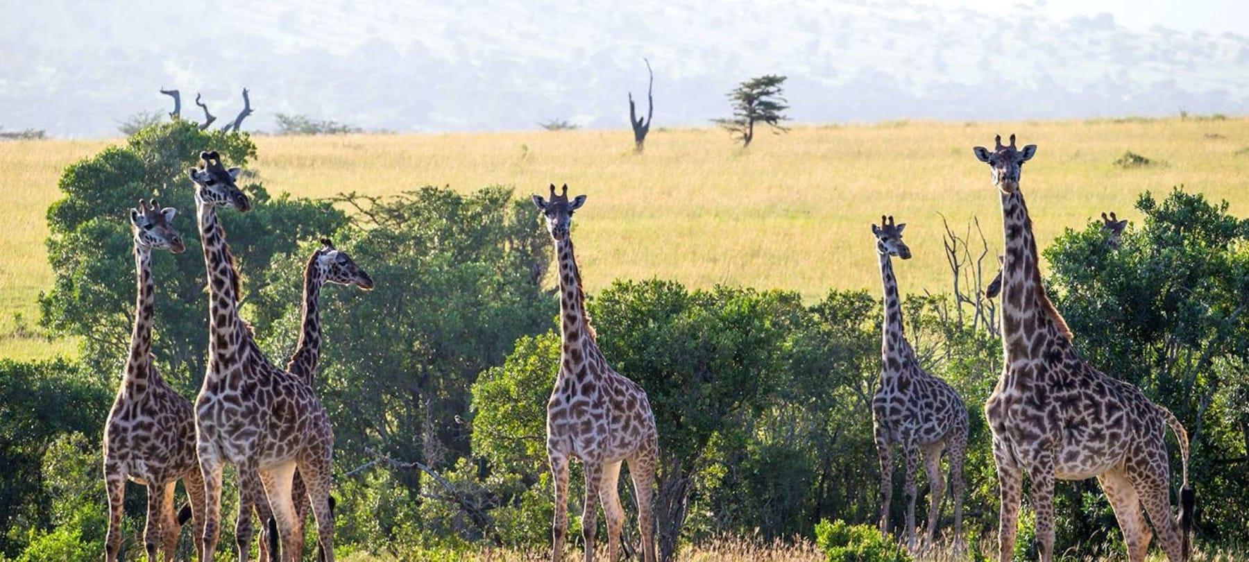 Giraffe in the Serengeti strike a pose
