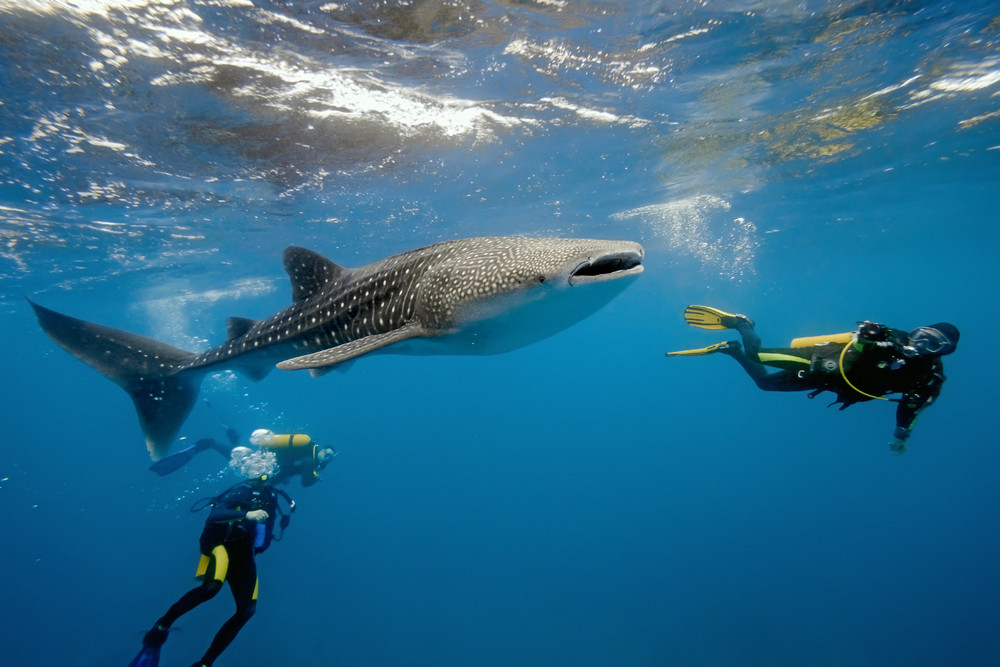 Divers swim with a whale shark at Chole Island marine park