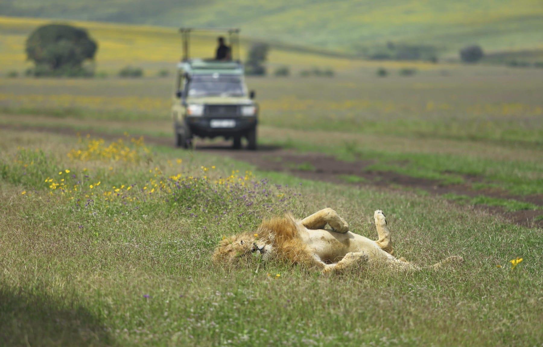 the highlands game drive lion ngorongoro tanzania safari