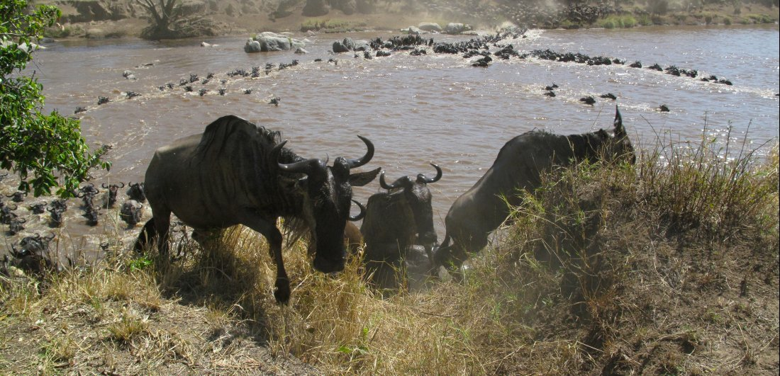 Wildebeest migratory herds crossing a river is a sight to behold