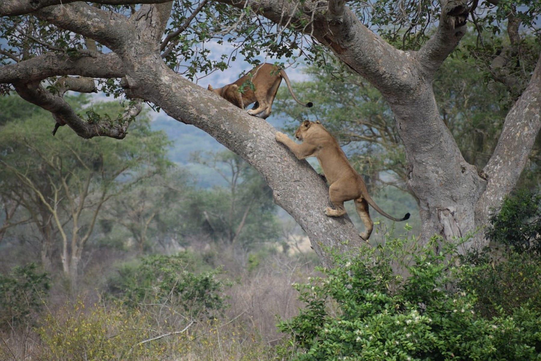 ishasha lions