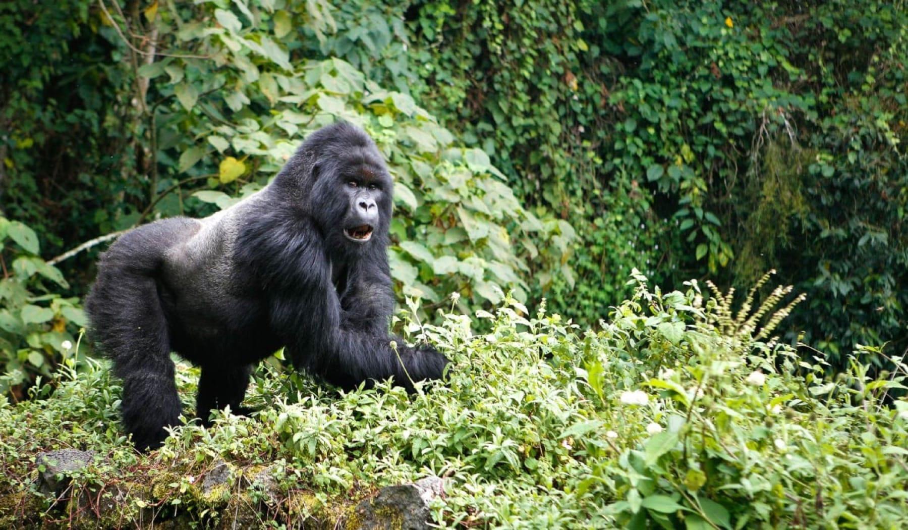 mountain gorilla in virunga