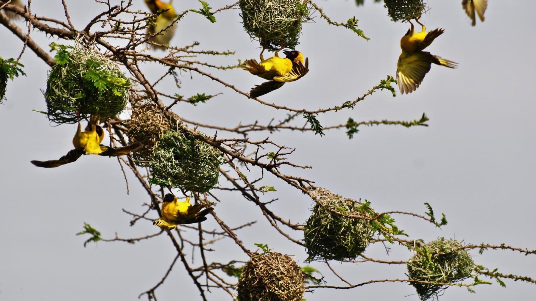 weaver birds ngorongoro crater tanzania safari
