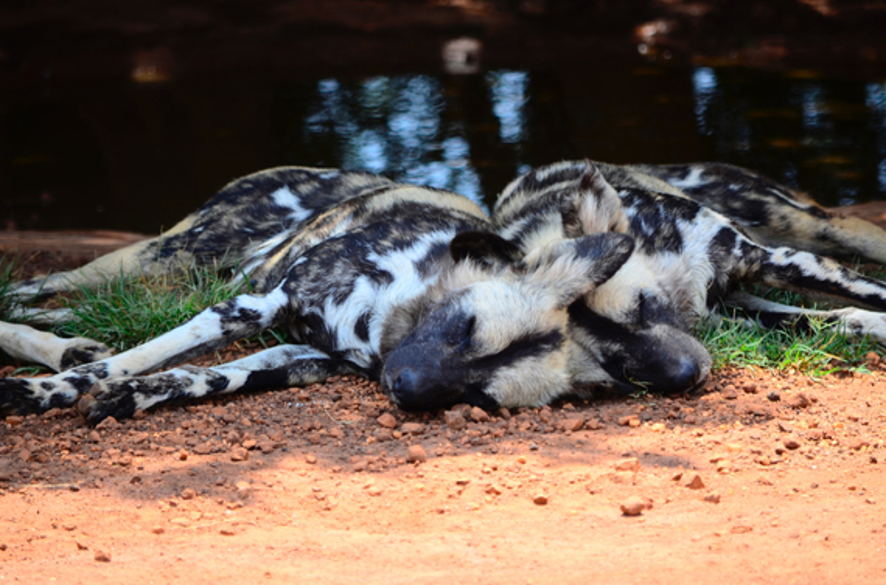 wild dogs in zimbabwe wildlife safari