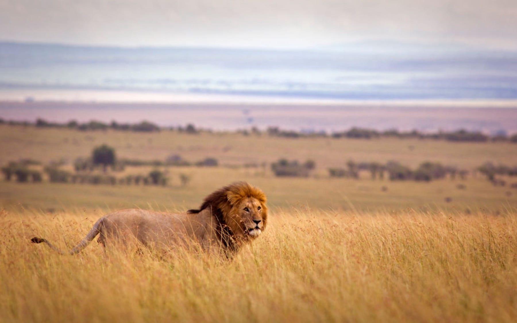 lion in Zambia