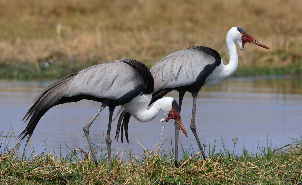 The Wattled crane is the largest crane in Africa and second largest species in world, credit: Flickr