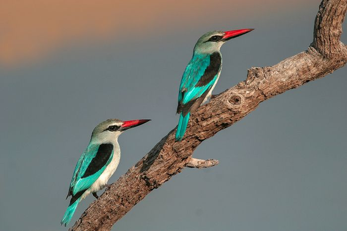 The Woodland kingfisher as seen in South Luangwa