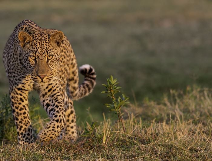Leopard spotting is particularly good in South Luangwa during May, credit: Africa Sky