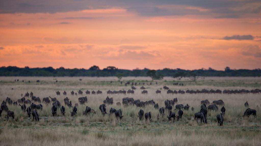 Wildebeest congreate on in the grasslands in Liuwa Plain National Park, credit: Cresta Hotel