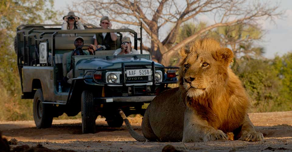 Safari-goers observe a juvenile lion, credit: Chiawa Camp