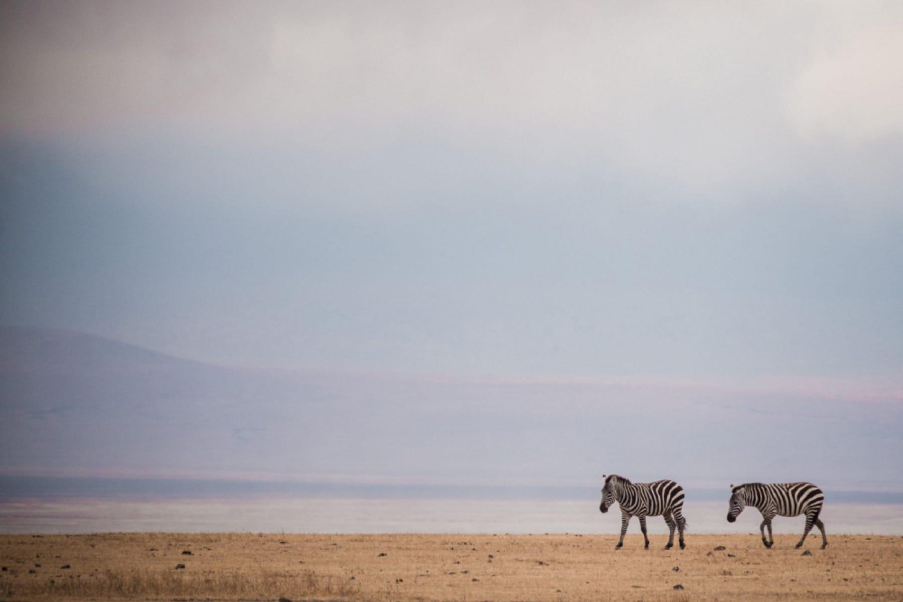 zebra pair ngorongoro