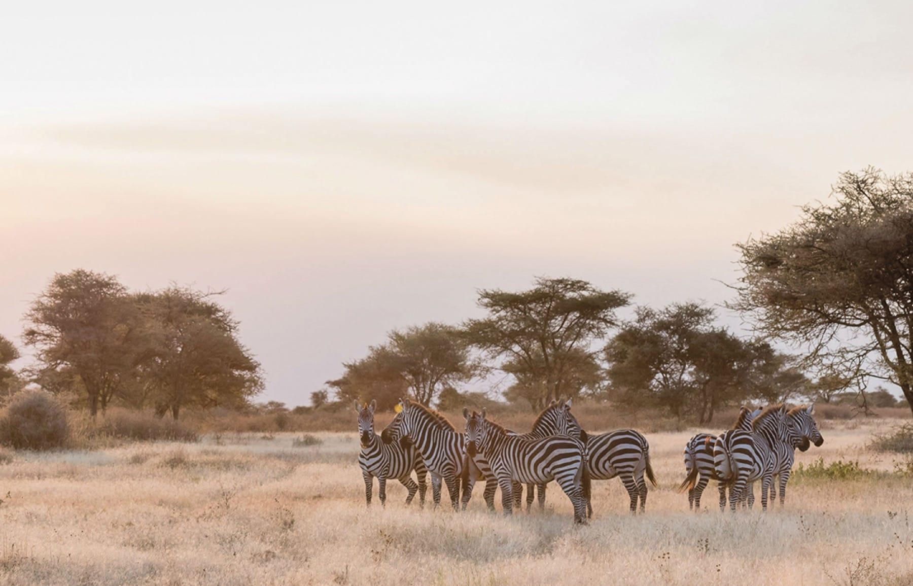 zebra ngorongoro crater wildlife