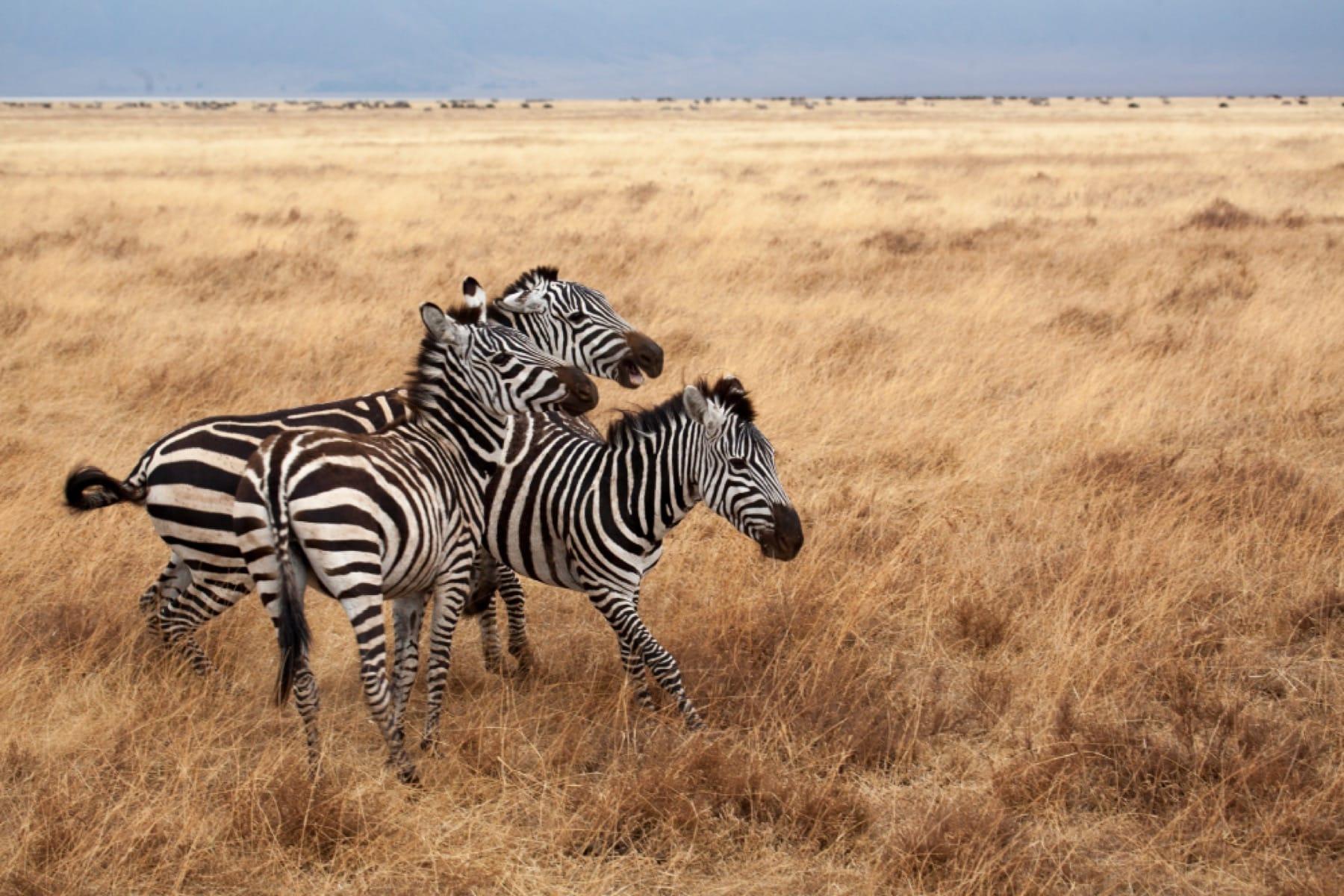 zebra wildlife ngorongoro crater