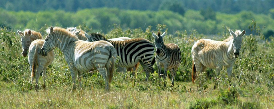 Zebra_Mount Kenya Wildlife Conservancy