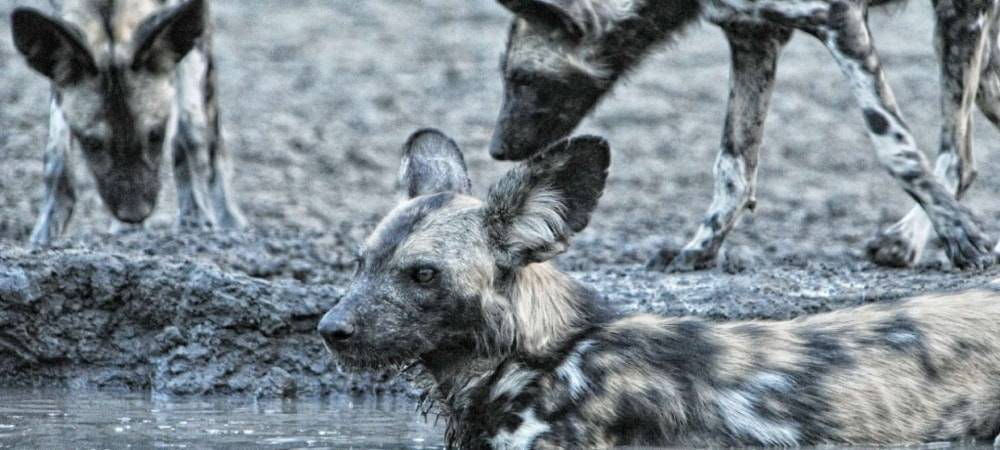 The highly endangered wild dogs